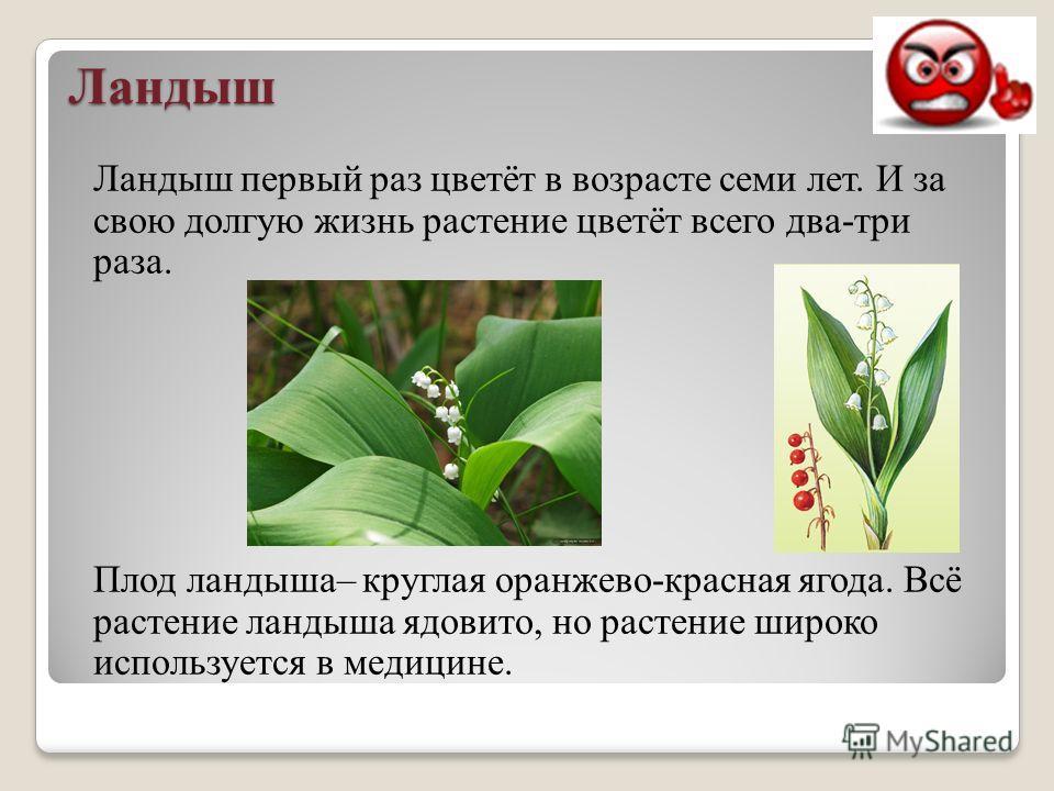 Ландыш Ландыш первый раз цветёт в возрасте семи лет. И за свою долгую жизнь растение цветёт всего два-три раза. Плод ландыша– круглая оранжево-красная ягода. Всё растение ландыша ядовито, но растение широко используется в медицине.