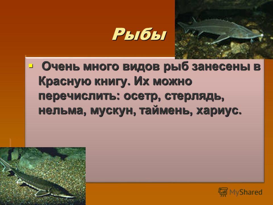 Рыбы Очень много видов рыб занесены в Красную книгу. Их можно перечислить: осетр, стерлядь, нельма, муксун, таймень, хариус. Очень много видов рыб занесены в Красную книгу. Их можно перечислить: осетр, стерлядь, нельма, муксун, таймень, хариус.