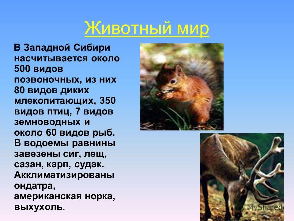 Животный мир В Западной Сибири насчитывается около 500 видов позвоночных, из них 80 видов диких млекопитающих, 350 видов птиц, 7 видов земноводных и около 60 видов рыб. В водоемы равнины завезены сиг, лещ, сазан, карп, судак. Акклиматизированы ондатр