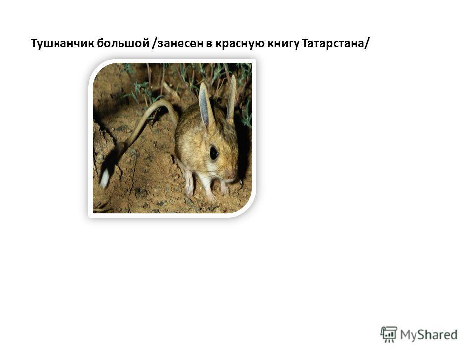 Тушканчик большой /занесен в красную книгу Татарстана/
