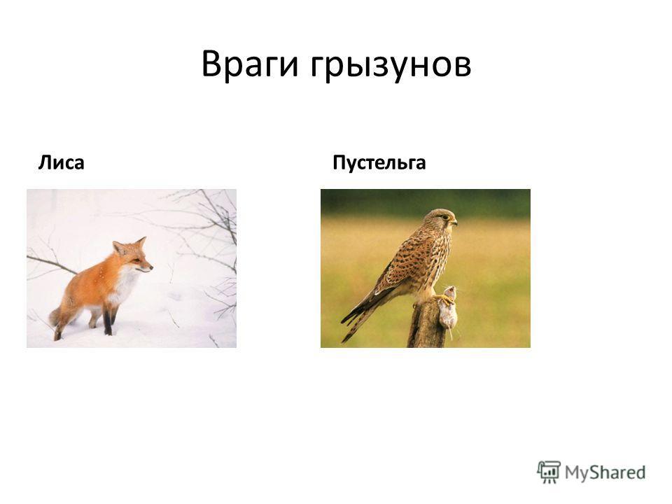 Враги грызунов Лиса Пустельга