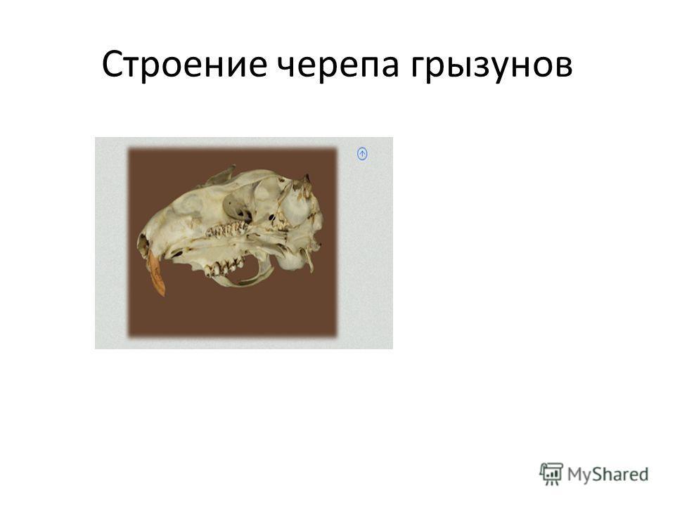 Строение черепа грызунов
