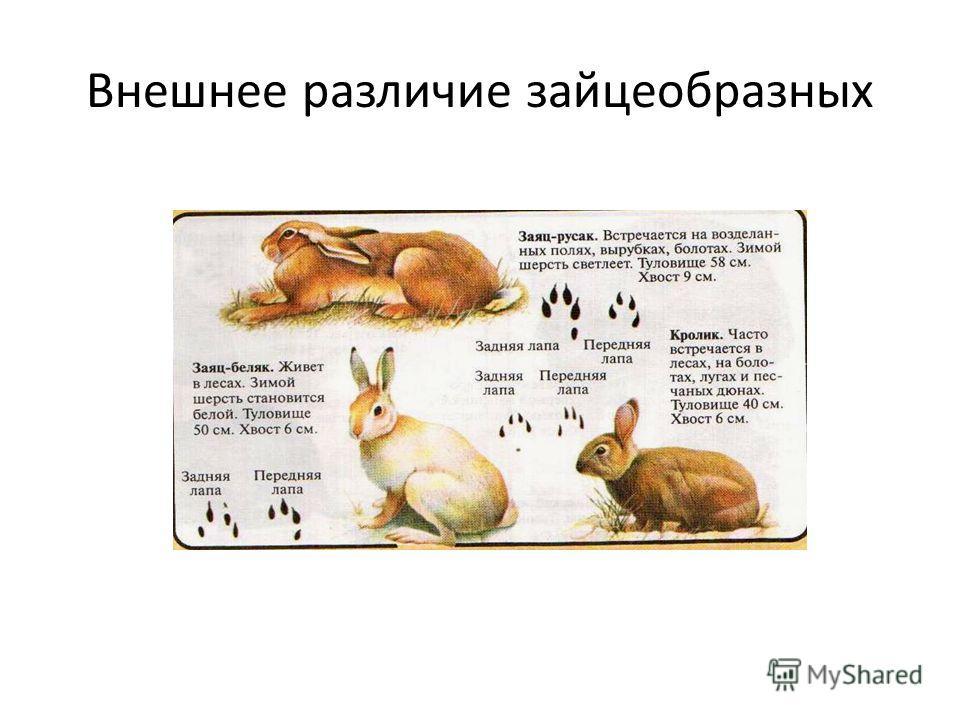 Внешнее различие зайцеобразных
