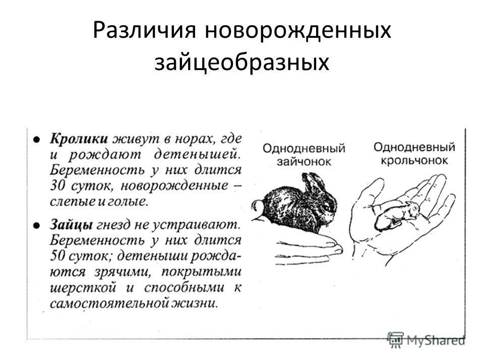 Различия новорожденных зайцеобразных