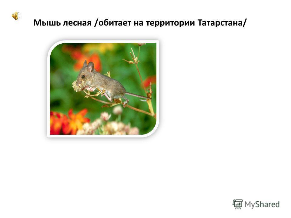 Мышь лесная /обитает на территории Татарстана/