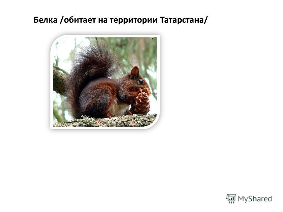 Белка /обитает на территории Татарстана/