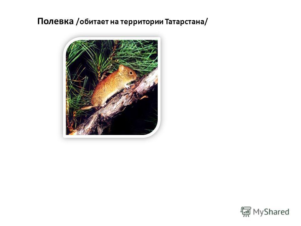 Полевка /обитает на территории Татарстана/
