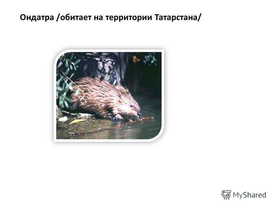 Ондатра /обитает на территории Татарстана/