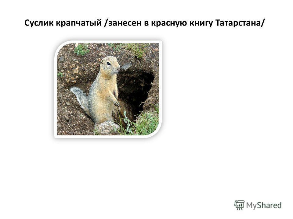 Суслик крапчатый /занесен в красную книгу Татарстана/