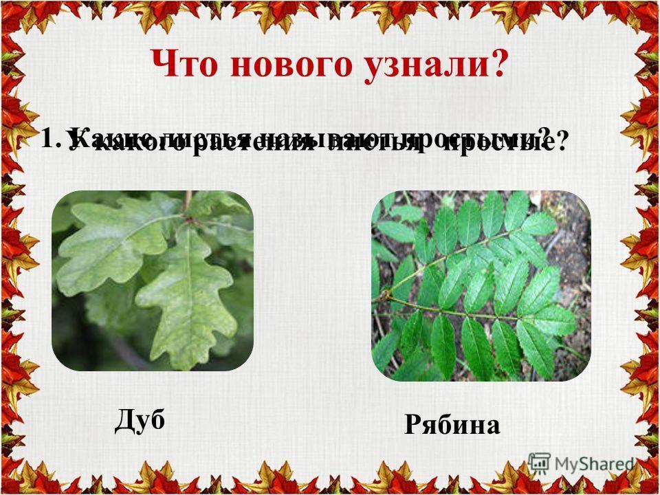 Что нового узнали? 1. Какие листья называют простыми? У какого растения листья простые? Дуб Рябина