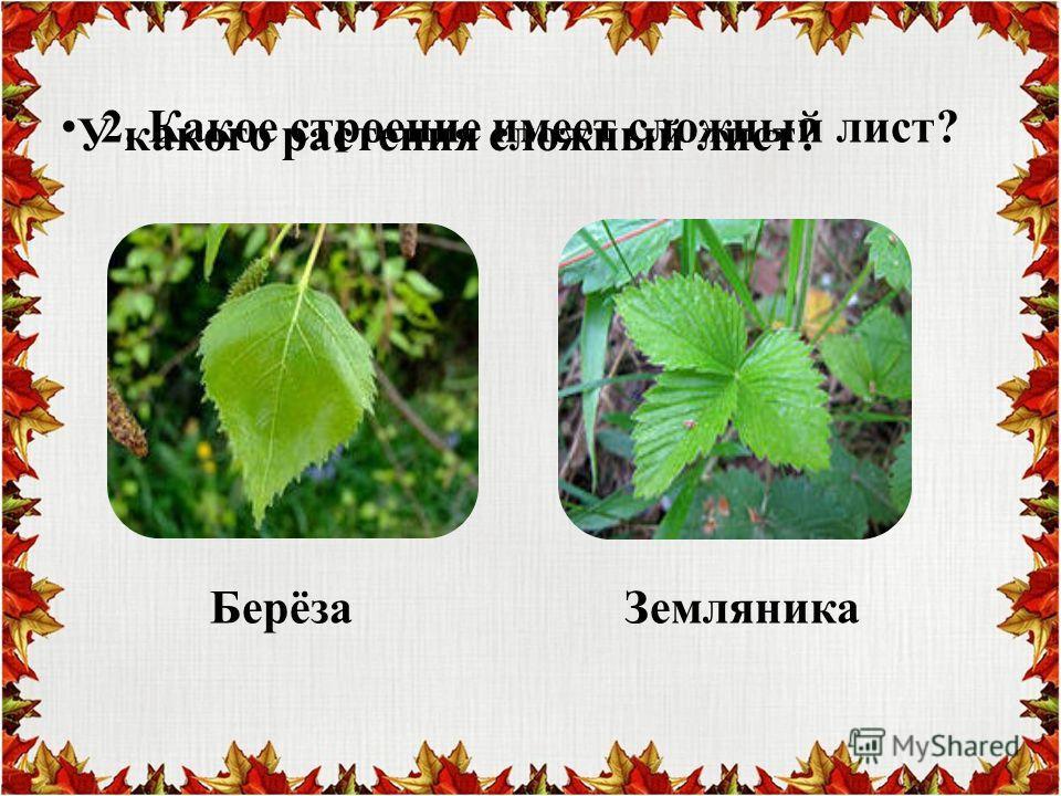 2. Какое строение имеет сложный лист? У какого растения сложный лист? Берёза Земляника