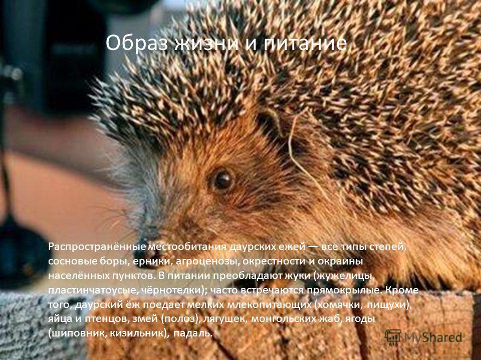 Распространённые местообитания даурских ежей все типы степей, сосновые боры, ерники, агроценозы, окрестности и окраины населённых пунктов. В питании преобладают жуки (жужелицы, пластинчатоусые, чёрнотелки); часто встречаются прямокрылые. Кроме того,