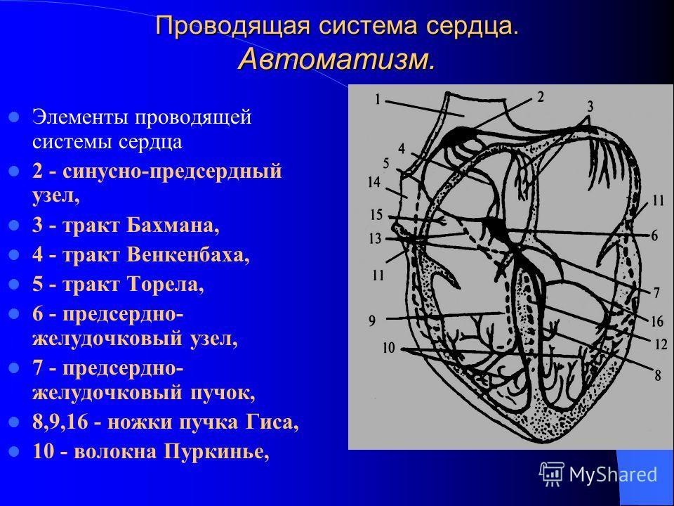 Проводящая система сердца. Автоматизм. Элементы проводящей системы сердца 2 - синусно-предсердный узел, 3 - тракт Бахмана, 4 - тракт Венкенбаха, 5 - тракт Торела, 6 - предсердно- желудочковый узел, 7 - предсердно- желудочковый пучок, 8,9,16 - ножки п