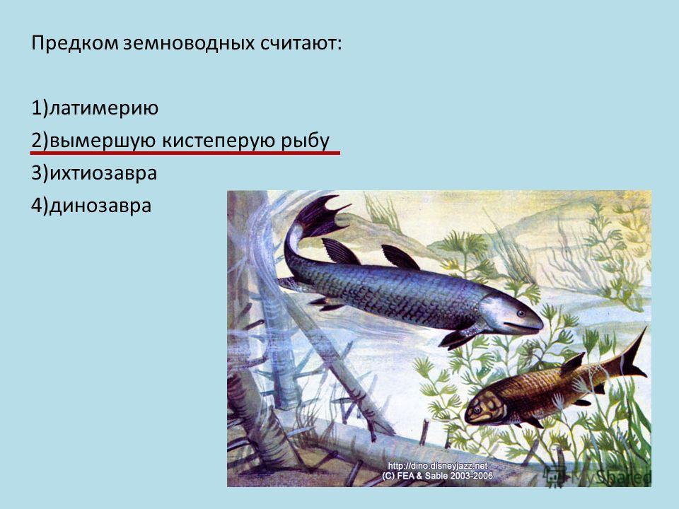 Предком земноводных считают: 1)латимерию 2)вымершую кистеперую рыбу 3)ихтиозавра 4)динозавра