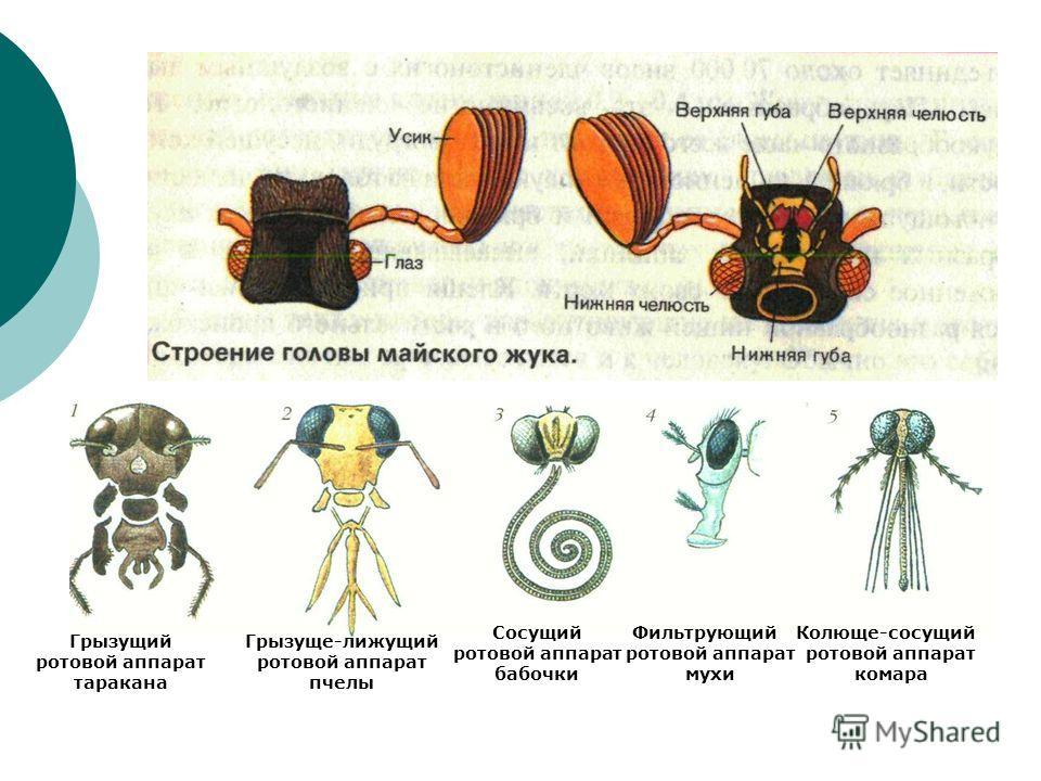 Грызущий ротовой аппарат таракана Грызуще-лижущий ротовой аппарат пчелы Сосущий ротовой аппарат бабочки Фильтрующий ротовой аппарат мухи Колюще-сосущий ротовой аппарат комара