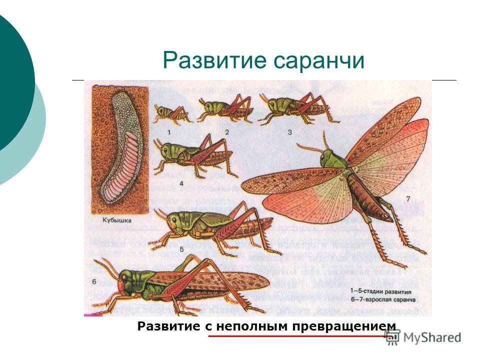 Развитие саранчи Развитие с неполным превращением