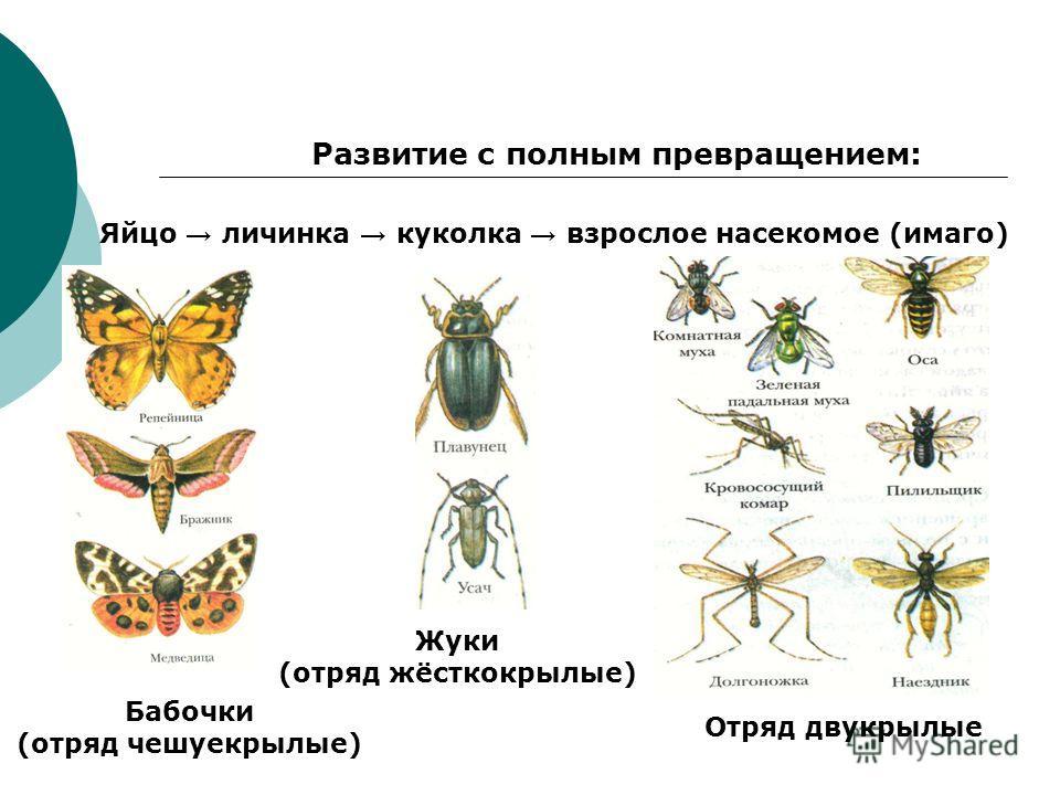 Развитие с полным превращением: Яйцо личинка куколка взрослое насекомое (имаго) Бабочки (отряд чешуекрылые) Жуки (отряд жёсткокрылые) Отряд двукрылые