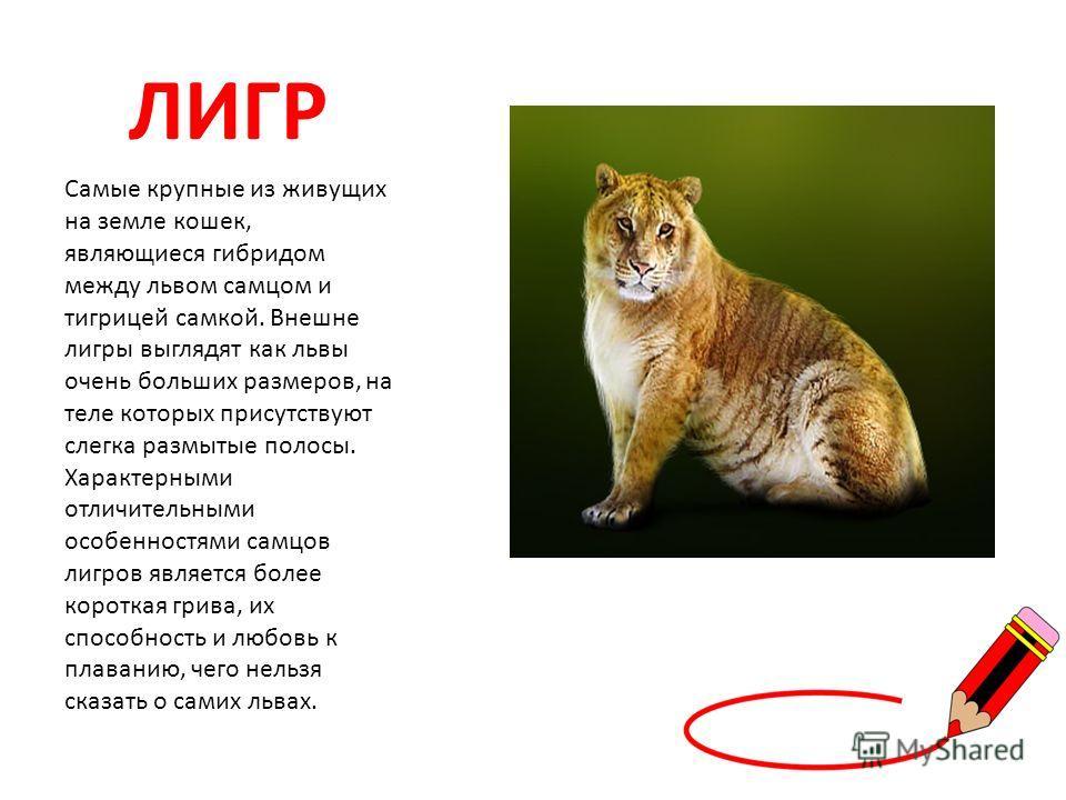 ЛИГР Самые крупные из живущих на земле кошек, являющиеся гибридом между львом самцом и тигрицей самкой. Внешне лигры выглядят как львы очень больших размеров, на теле которых присутствуют слегка размытые полосы. Характерными отличительными особенност