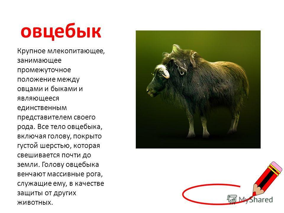 овцебык Крупное млекопитающее, занимающее промежуточное положение между овцами и быками и являющееся единственным представителем своего рода. Все тело овцебыка, включая голову, покрыто густой шерстью, которая свешивается почти до земли. Голову овцебы