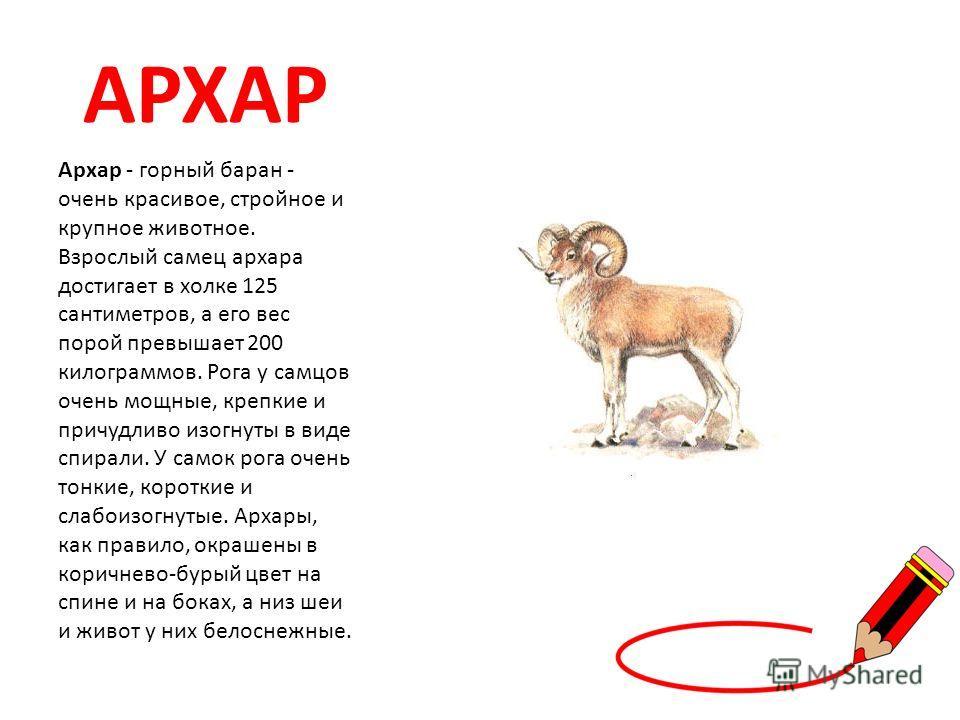 АРХАР Архар - горный баран - очень красивое, стройное и крупное животное. Взрослый самец архара достигает в холке 125 сантиметров, а его вес порой превышает 200 килограммов. Рога у самцов очень мощные, крепкие и причудливо изогнуты в виде спирали. У