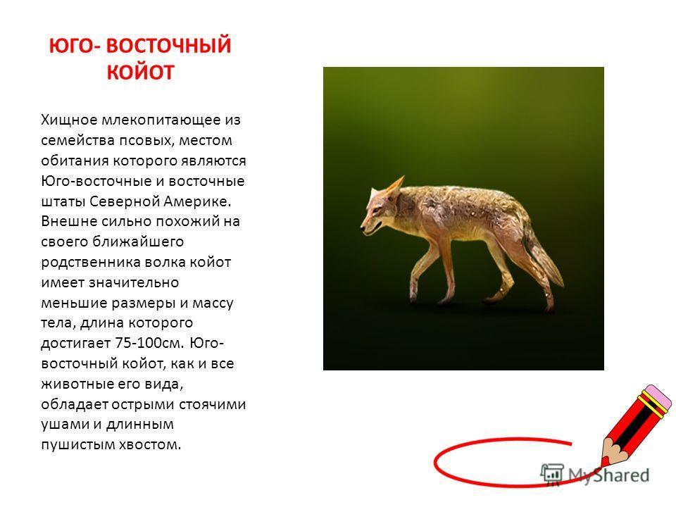 ЮГО- ВОСТОЧНЫЙ КОЙОТ Хищное млекопитающее из семейства псовых, местом обитания которого являются Юго-восточные и восточные штаты Северной Америке. Внешне сильно похожий на своего ближайшего родственника волка койот имеет значительно меньшие размеры и