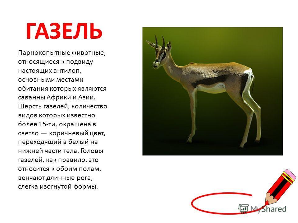 ГАЗЕЛЬ Парнокопытные животные, относящиеся к подвиду настоящих антилоп, основными местами обитания которых являются саванны Африки и Азии. Шерсть газелей, количество видов которых известно более 15-ти, окрашена в светло коричневый цвет, переходящий в