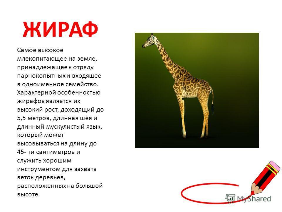 ЖИРАФ Самое высокое млекопитающее на земле, принадлежащее к отряду парнокопытных и входящее в одноименное семейство. Характерной особенностью жирафов является их высокий рост, доходящий до 5,5 метров, длинная шея и длинный мускулистый язык, который м