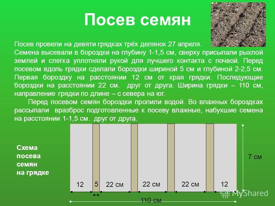 Посев семян Посев провели на девяти грядках трёх делянок 27 апреля. Семена высевали в бороздки на глубину 1-1,5 см, сверху присыпали рыхлой землей и слегка уплотняли рукой для лучшего контакта с почвой. Перед посевом вдоль грядки сделали бороздки шир