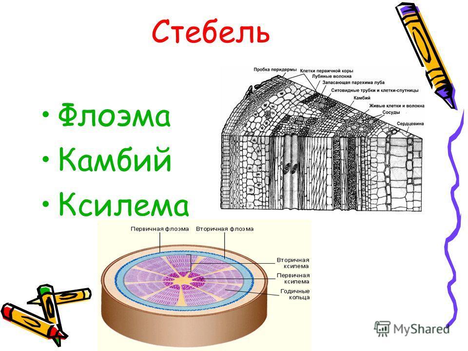 Стебель Флоэма Камбий Ксилема