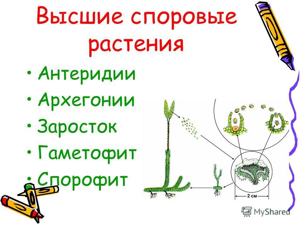 Высшие споровые растения Антеридии Архегонии Заросток Гаметофит Спорофит