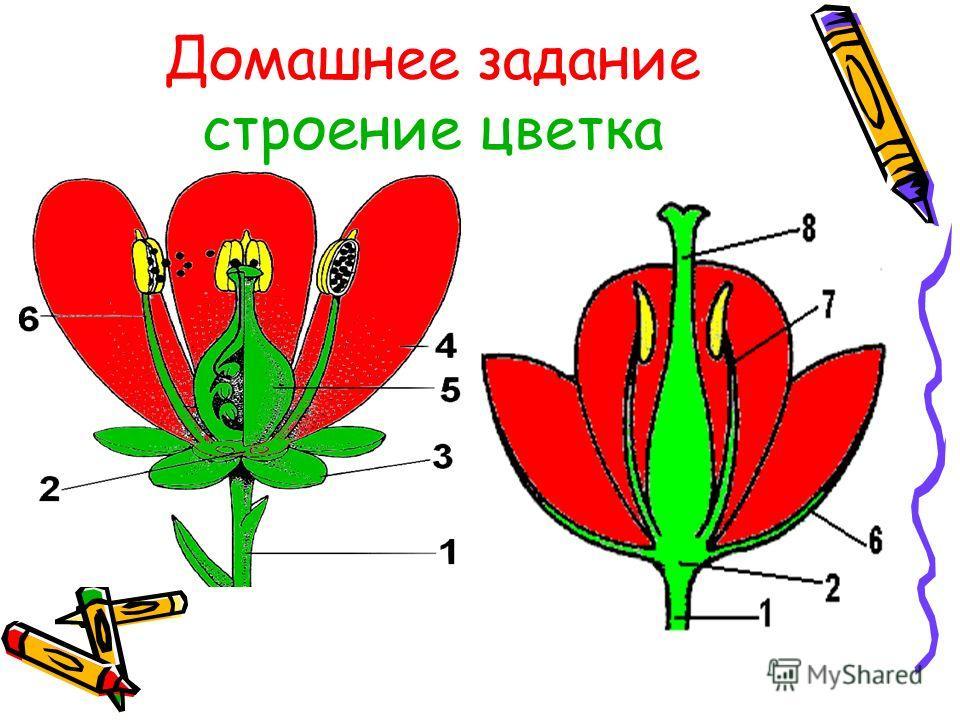 Домашнее задание строение цветка