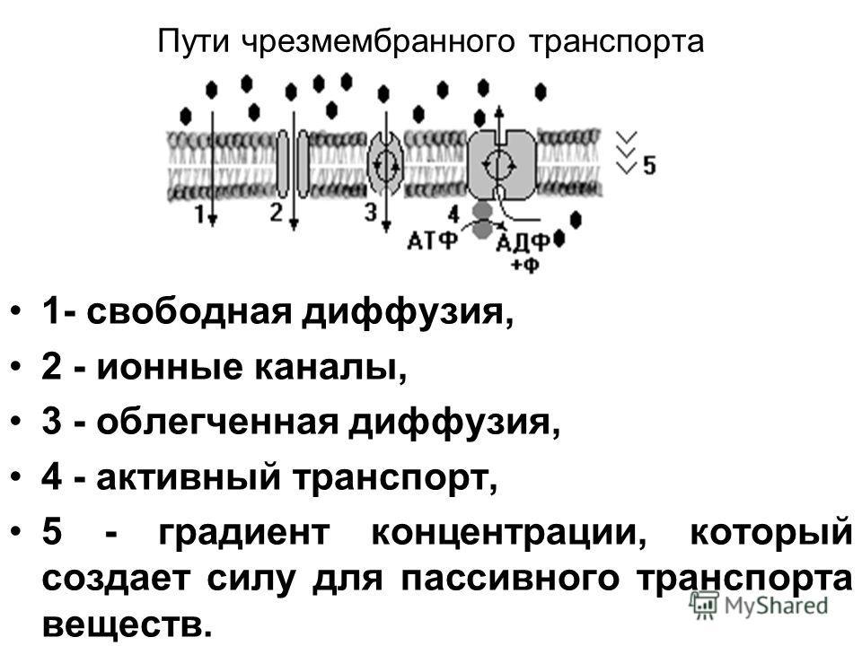 Пути чрез мембранного транспорта 1- свободная диффузия, 2 - ионные каналы, 3 - облегченная диффузия, 4 - активный транспорт, 5 - градиент концентрации, который создает силу для пассивного транспорта веществ.