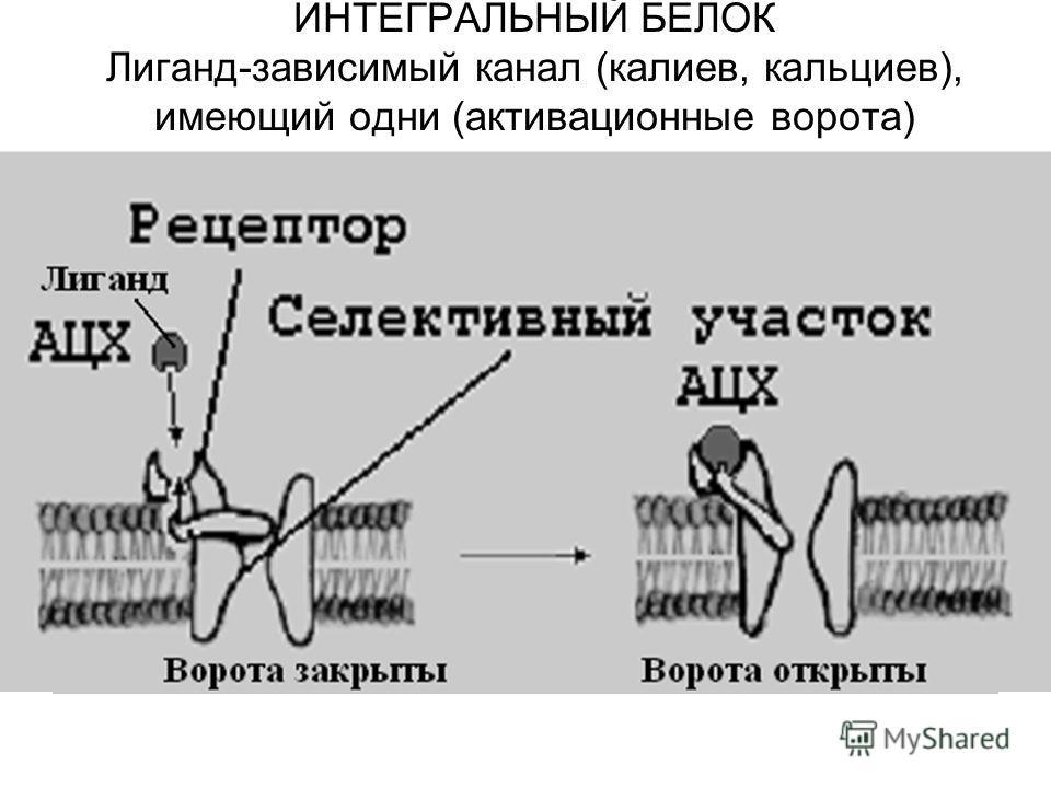 ИНТЕГРАЛЬНЫЙ БЕЛОК Лиганд-зависимый канал (калиев, кальциев), имеющий одни (активационные ворота)