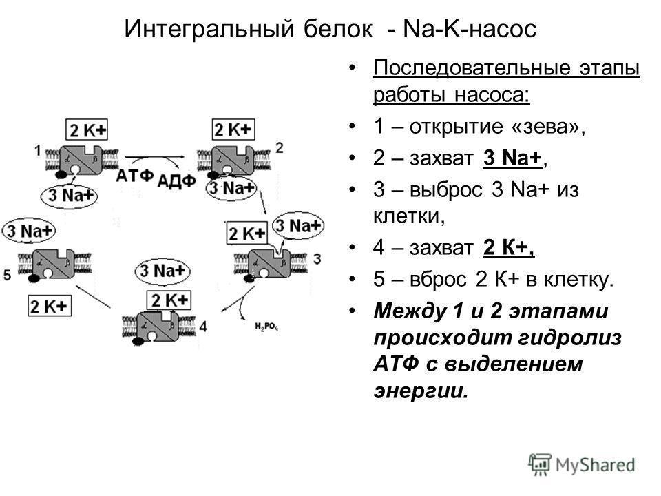 Интегральный белок - Na-K-насос Последовательные этапы работы насоса: 1 – открытие «зева», 2 – захват 3 Na+, 3 – выброс 3 Na+ из клетки, 4 – захват 2 К+, 5 – вброс 2 К+ в клетку. Между 1 и 2 этапами происходит гидролиз АТФ с выделением энергии.