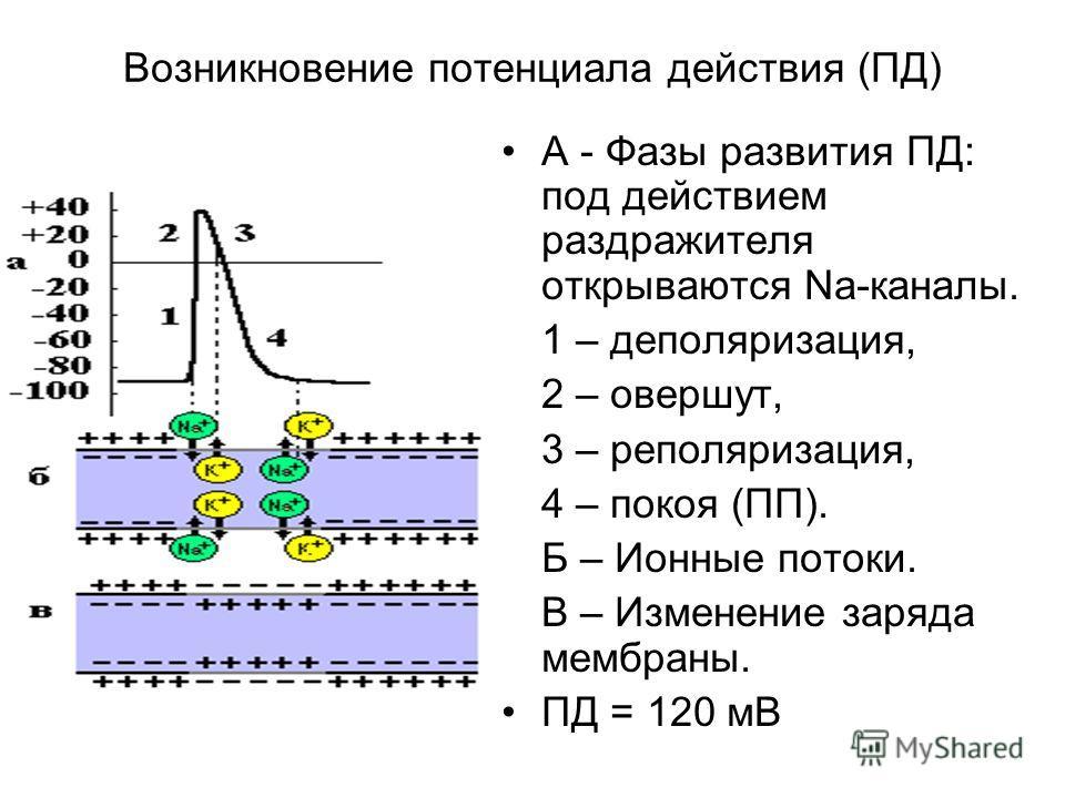 Возникновение потенциала действия (ПД) А - Фазы развития ПД: под действием раздражителя открываются Na-каналы. 1 – деполяризация, 2 – овершут, 3 – реполяризация, 4 – покоя (ПП). Б – Ионные потоки. В – Изменение заряда мембраны. ПД = 120 мВ