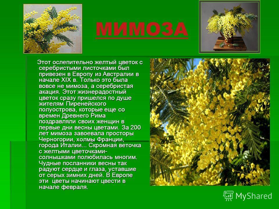 МИМОЗА Этот ослепительно желтый цветок с серебристыми листочками был привезен в Европу из Австралии в начале XIX в. Только это была вовсе не мимоза, а серебристая акация. Этот жизнерадостный цветок сразу пришелся по душе жителям Пиренейского полуостр