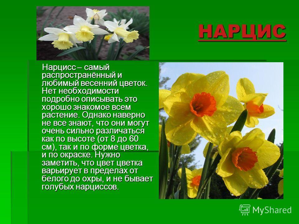 НАРЦИС Нарцисс – самый распространённый и любимый весенний цветок. Нет необходимости подробно описывать это хорошо знакомое всем растение. Однако наверно не все знают, что они могут очень сильно различаться как по высоте (от 8 до 60 см), так и по фор