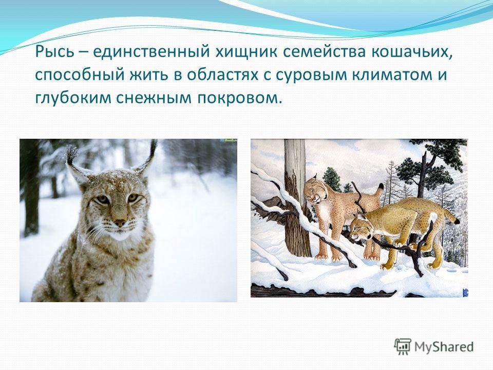 Рысь – единственный хищник семейства кошачьих, способный жить в областях с суровым климатом и глубоким снежным покровом.