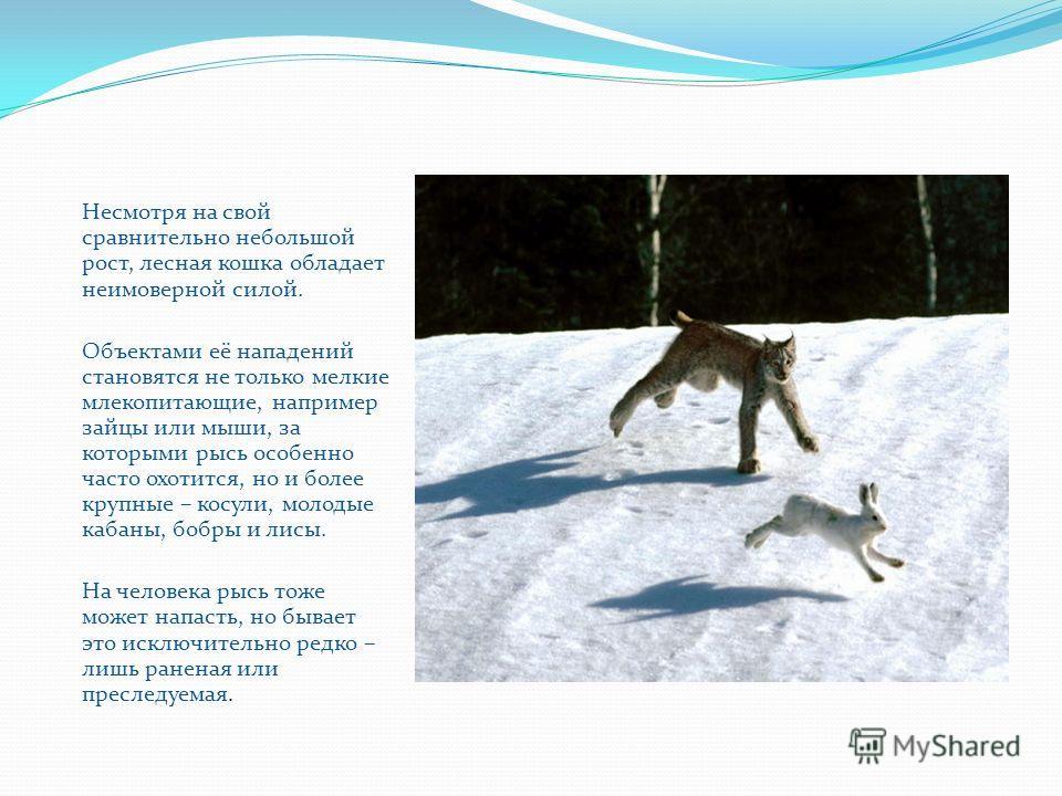 Несмотря на свой сравнительно небольшой рост, лесная кошка обладает неимоверной силой. Объектами её нападений становятся не только мелкие млекопитающие, например зайцы или мыши, за которыми рысь особенно часто охотится, но и более крупные – косули, м