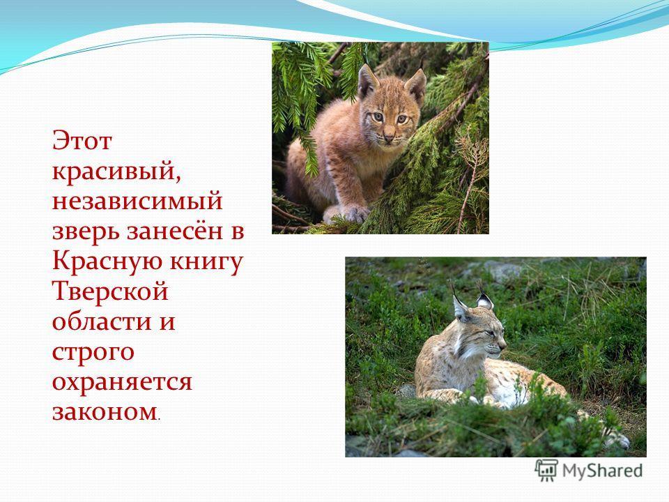 Этот красивый, независимый зверь занесён в Красную книгу Тверской области и строго охраняется законом.