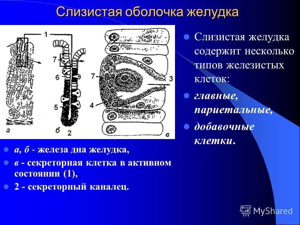 Слизистая оболочка желудка а, б - железа дна желудка, в - секреторная клетка в активном состоянии (1), 2 - секреторный каналец. Слизистая желудка содержит несколько типов железистых клеток: главные, париетальные, добавочные клетки.
