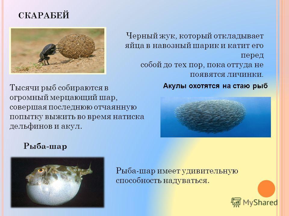 СКАРАБЕЙ Черный жук, который откладывает яйца в навозный шарик и катит его перед собой до тех пор, пока оттуда не появятся личинки. Акулы охотятся на стаю рыб Тысячи рыб собираются в огромный мерцающий шар, совершая последнюю отчаянную попытку выжить