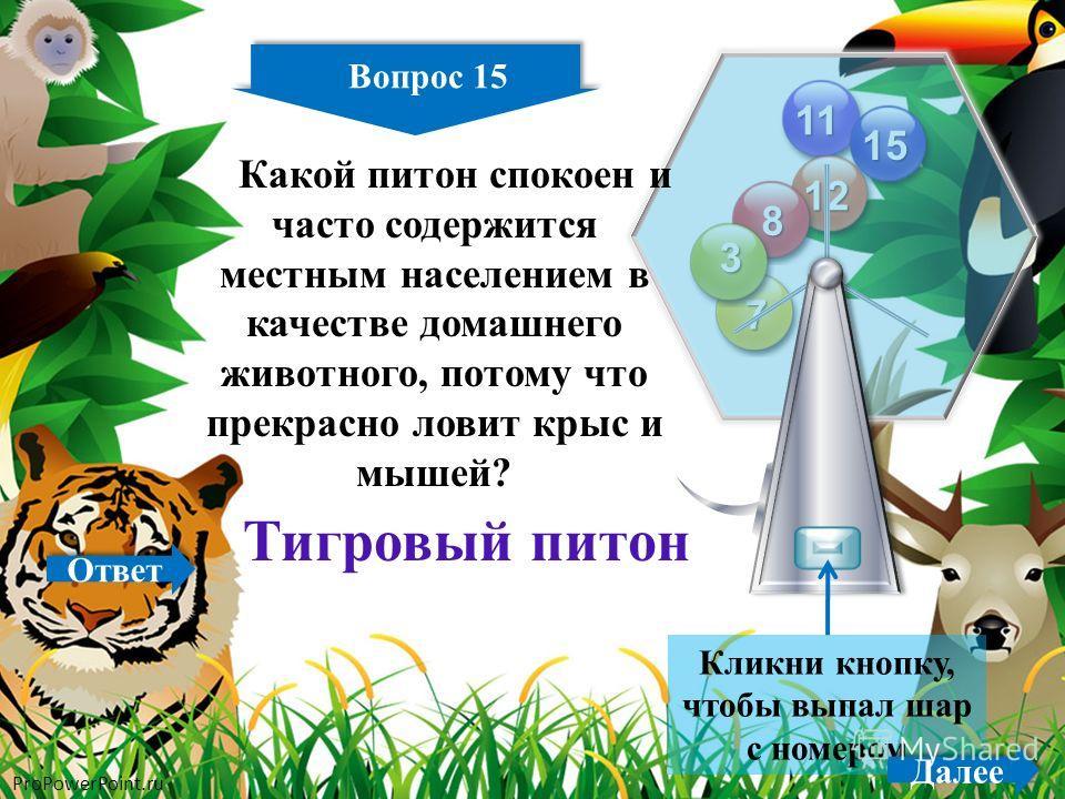 ProPowerPoint.ru 15 11 12 15 8 7 3 Кликни кнопку, чтобы выпал шар с номером Вопрос 15 Далее Какой питон спокоен и часто содержится местным населением в качестве домашнего животного, потому что прекрасно ловит крыс и мышей? Тигровый питон Ответ