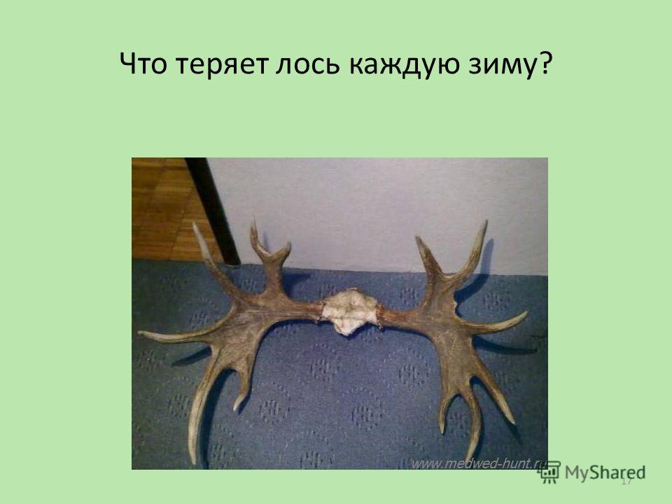 Что теряет лось каждую зиму? 17