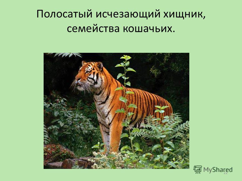 Полосатый исчезающий хищник, семейства кошачьих. 22