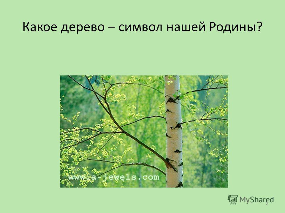 Какое дерево – символ нашей Родины? 5