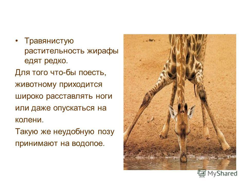 Травянистую растительность жирафы едят редко. Для того что-бы поесть, животному приходится широко расставлять ноги или даже опускаться на колени. Такую же неудобную позу принимают на водопое.