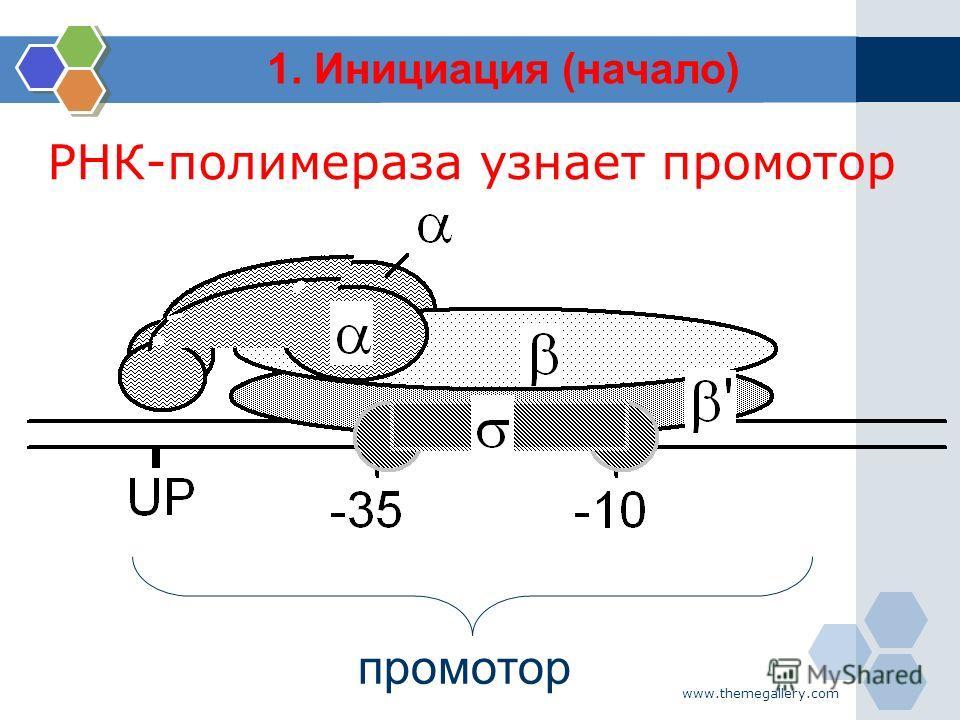www.themegallery.com промотор РНК-полимераза узнает промотор 1. Инициация (начало)