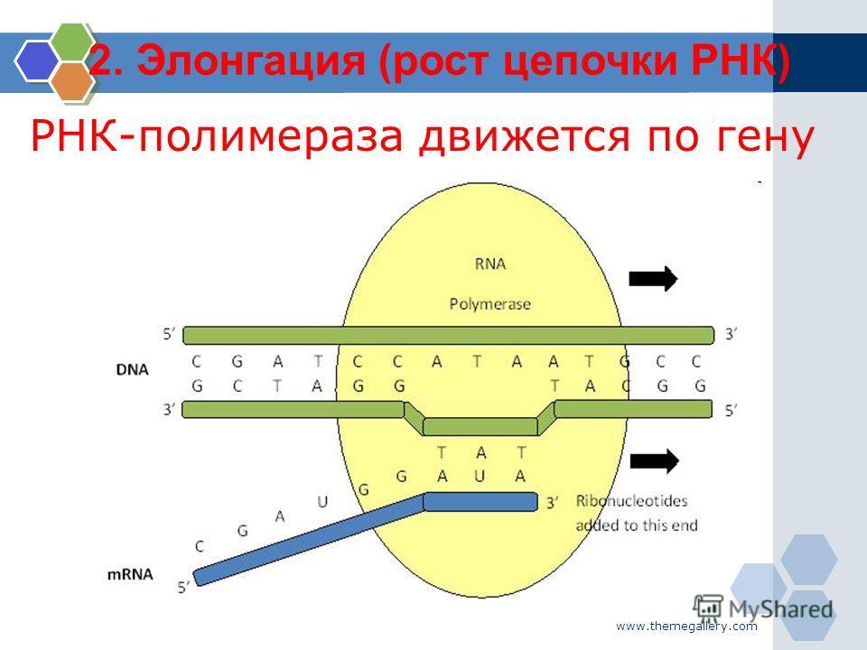 www.themegallery.com РНК-полимераза движется по гену 2. Элонгация (рост цепочки РНК)