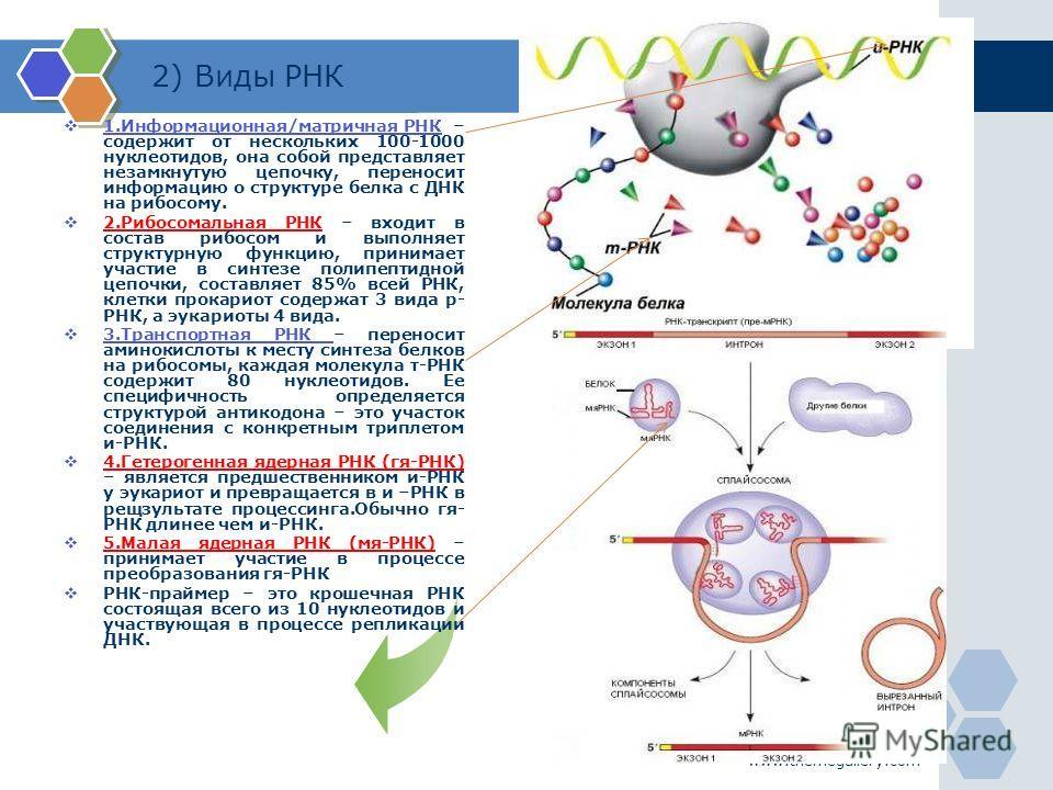 www.themegallery.com 2) Виды РНК 1.Информационная/матричная РНК – содержит от нескольких 100-1000 нуклеотидов, она собой представляет незамкнутую цепочку, переносит информацию о структуре белка с ДНК на рибосому. 1.Информационная/матричная РНК 2. Риб